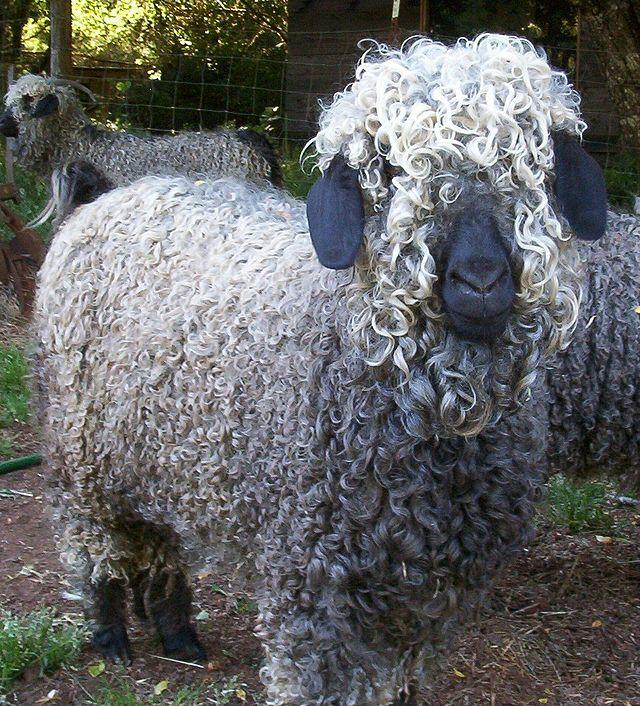 koza angorska, wełna z kozy angorskiej, moher