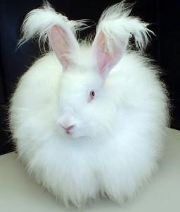 królik angorski